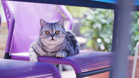 British Shorthair Tabby sitting on the chair. British Shorthair is the pedigreed version of the traditional British domestic cat. The most familiar color variant stock image