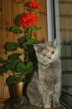 British Shorthair and pelargonium flower Royalty Free Stock Photos