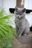 British Shorthair and a pot of flowers Royalty Free Stock Images