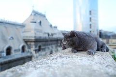 British Shorthair puss Royalty Free Stock Photography