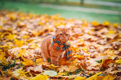 British shorthair red cat in autumn. Red cat with colorful leafs Royalty Free Stock Images
