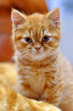 British shorthair red kitten stock image