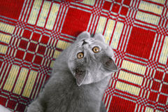 British Shorthair on a red rug Stock Photo