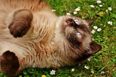 British Shorthair, Rest, Relaxed Stock Image