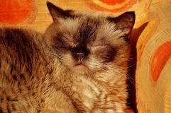 British Shorthair, Rest, Relaxed Royalty Free Stock Photo