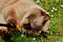 British Shorthair, Rest, Relaxed Royalty Free Stock Photography