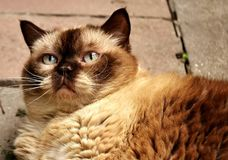 British Shorthair, Rest, Relaxed Royalty Free Stock Image