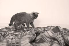 British Shorthair on rug Stock Photo