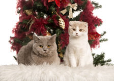 British Shorthair and a Scottish Fold kitten Stock Images