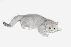 British shorthair silver-shadow cat royalty free stock photography