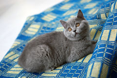 British Shorthair sitting on a blue carpet Royalty Free Stock Image