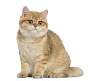 British shorthair sitting Royalty Free Stock Photos
