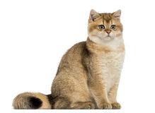 British shorthair sitting Royalty Free Stock Image