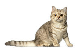 British Shorthair sitting and looking at the camera Royalty Free Stock Photos