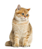 British shorthair sitting, looking down, isolated Stock Image
