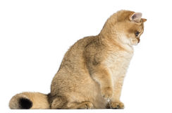 British shorthair sitting, looking down, isolated Royalty Free Stock Photo