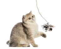 British shorthair sitting, playing with feather toy Stock Photography