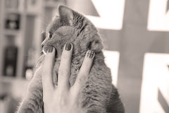 British Shorthair small cat and Union Jack flag. British Shorthair kitten and Union Jack nails, girl holding her cat Royalty Free Stock Image