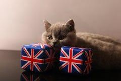 British Shorthair small kitten Stock Photos