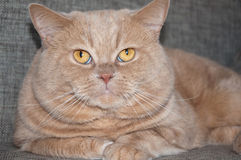 The British Shorthair on the sofa. Stock Image