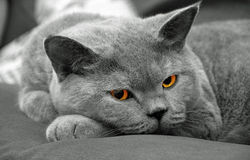 British shorthair striking a pose Royalty Free Stock Image