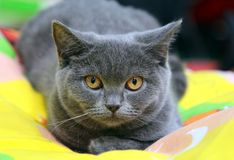 The British Shorthair is a sturdy Cheshire cat wool soft head-round eye orange. English pet British Shorthair grey with orange eyes pet cat show royalty free stock image
