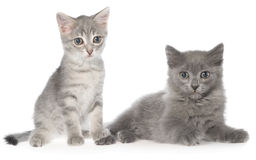 British shorthair tabby kitten and gray kitten sitting Royalty Free Stock Photos