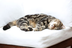 British Shorthair Tabby lying on a couch. British Shorthair is the pedigreed version of the traditional British domestic cat. The most familiar color variant is stock photos