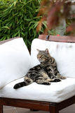 British Shorthair Tabby lying on a couch. British Shorthair is the pedigreed version of the traditional British domestic cat. The most familiar color variant is stock images