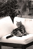British Shorthair Tabby lying on a couch. British Shorthair is the pedigreed version of the traditional British domestic cat. The most familiar color variant is royalty free stock image