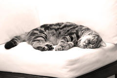 British Shorthair Tabby lying on a couch. British Shorthair is the pedigreed version of the traditional British domestic cat. The most familiar color variant is stock photography
