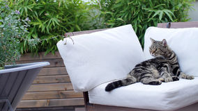 British Shorthair Tabby lying on a couch. British Shorthair is the pedigreed version of the traditional British domestic cat. The most familiar color variant is royalty free stock images