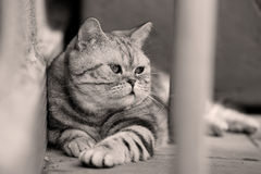 British Shorthair Tabby lying in the yard. British Shorthair is the pedigreed version of the traditional British domestic cat. The most familiar color variant is stock photo