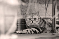 British Shorthair Tabby lying in the yard. British Shorthair is the pedigreed version of the traditional British domestic cat. The most familiar color variant is royalty free stock photo
