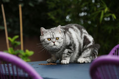 British Shorthair Tabby sitting on the table. British Shorthair is the pedigreed version of the traditional British domestic cat. The most familiar color variant royalty free stock photography