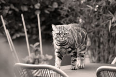 British Shorthair Tabby sitting on the table. British Shorthair is the pedigreed version of the traditional British domestic cat. The most familiar color variant royalty free stock image