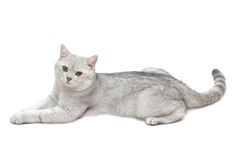 British shorthair tomcat royalty free stock images