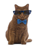 British Shorthair wearing glasses and a bow tie Stock Photo