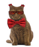 British Shorthair wearing glasses and a bow tie Stock Images