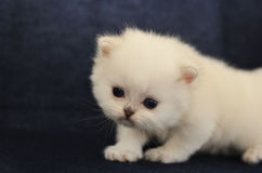 British shorthair white kitten Royalty Free Stock Image