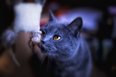 British shorthair royalty free stock photography