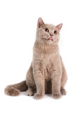 British Shorthaired Cat Stock Images