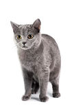 British Shorthaired Cat Royalty Free Stock Image