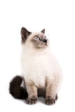 British Shorthaired Cat Stock Photos