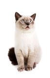 British Shorthaired Cat Royalty Free Stock Photography