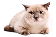 British Shorthaired Cat Royalty Free Stock Images