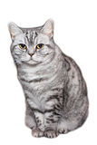 British shorthaired cat white, isolated Royalty Free Stock Images