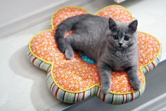 British Shorthairkitten kitten sitting on a pillow Stock Photo