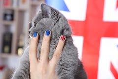 British Shorthairkitten  and Union Jack flag. Girl holding a British Shorthair kitten in her hands, Union Jack polished nails Royalty Free Stock Photos