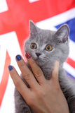 British Shorthairkitten  and Union Jack flag. Girl holding a British Shorthair kitten in her hands, Union Jack polished nails, close-up view Royalty Free Stock Photos